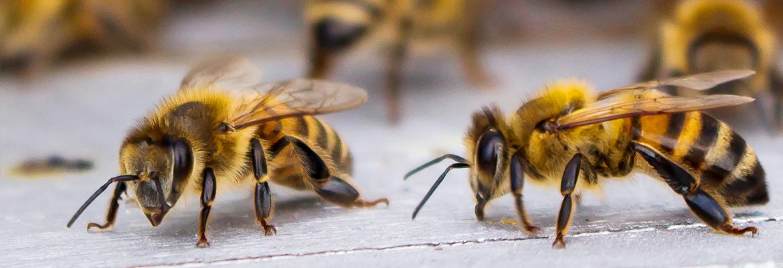 Bienen umsiedeln - AML Schädlingsbekämpfung