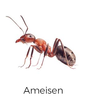 Ameisen bekämpfen / abwehren - AML Schädlingsbekämpfung