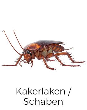 Kakerlaken / Schaben bekämpfen / entfernen - AML Schädlingsbekämpfung