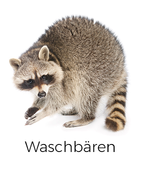 Waschbären vergrämen / abwehren - AML Schädlingsbekämpfung