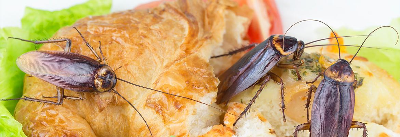 Kakerlaken / Schaben bekämpfen - AML Schädlingsbekämpfung