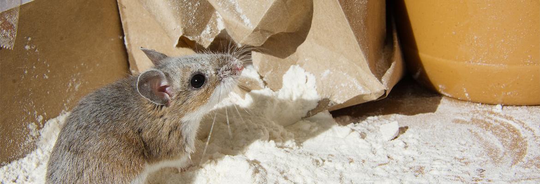 Mäuse bekämpfen / fangen - AML Schädlingsbekämpfung
