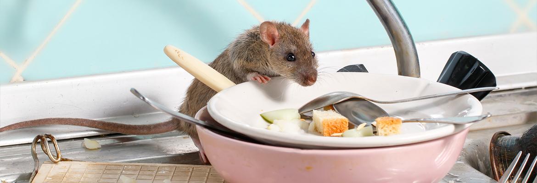 Ratten bekämpfen / fangen - AML Schädlingsbekämpfung