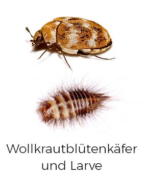 Wollkrautblütenkäfer bekämpfen / entfernen - AML Schädlingsbekämpfung