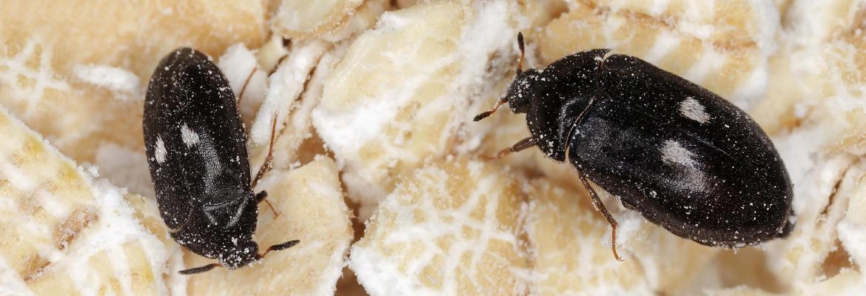 Pelzkäfer bekämpfen / entfernen - AML Schädlingsbekämpfung