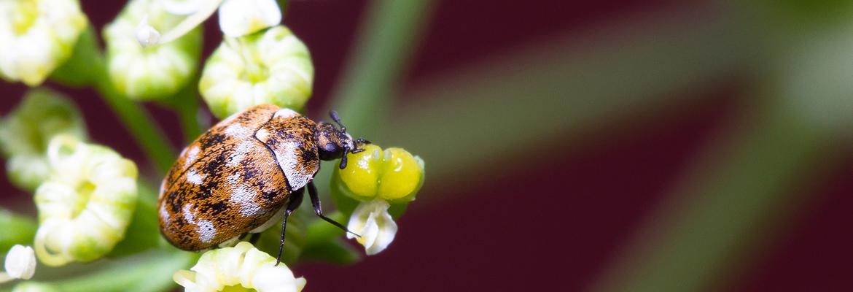 Wollkrautblütenkäfer bekämpfen / abwehren - AML Schädlingsbekämpfung